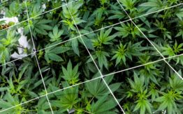 Cannabis plants for medical