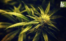 cannabis plant use for treatment